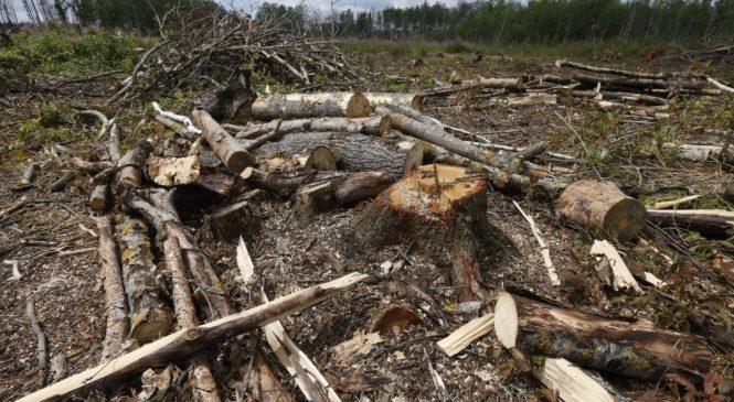 Апеляція залишила посадовцю покарання у вигляді 5 років позбавлення волі за вирубку 350 дерев